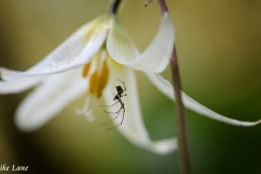 Spider on Fawn Lily
