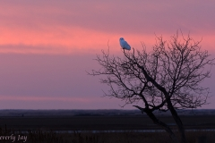 Snowy Owl on the Prairie