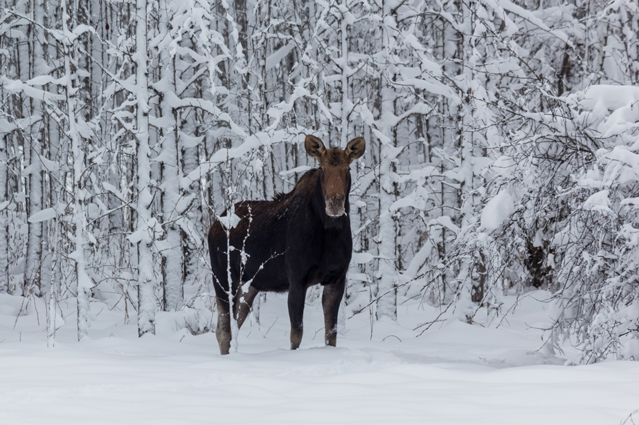 Moose Standing in the Winter Snow