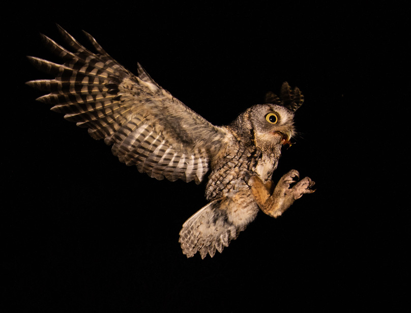 Screech Owl with June Bug Catch