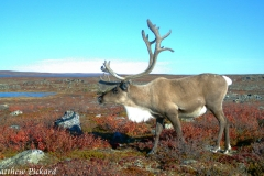 Caribou in the Fall Colours
