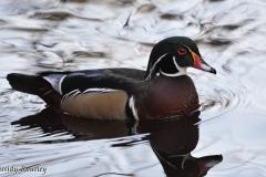 05-19-wood-duck