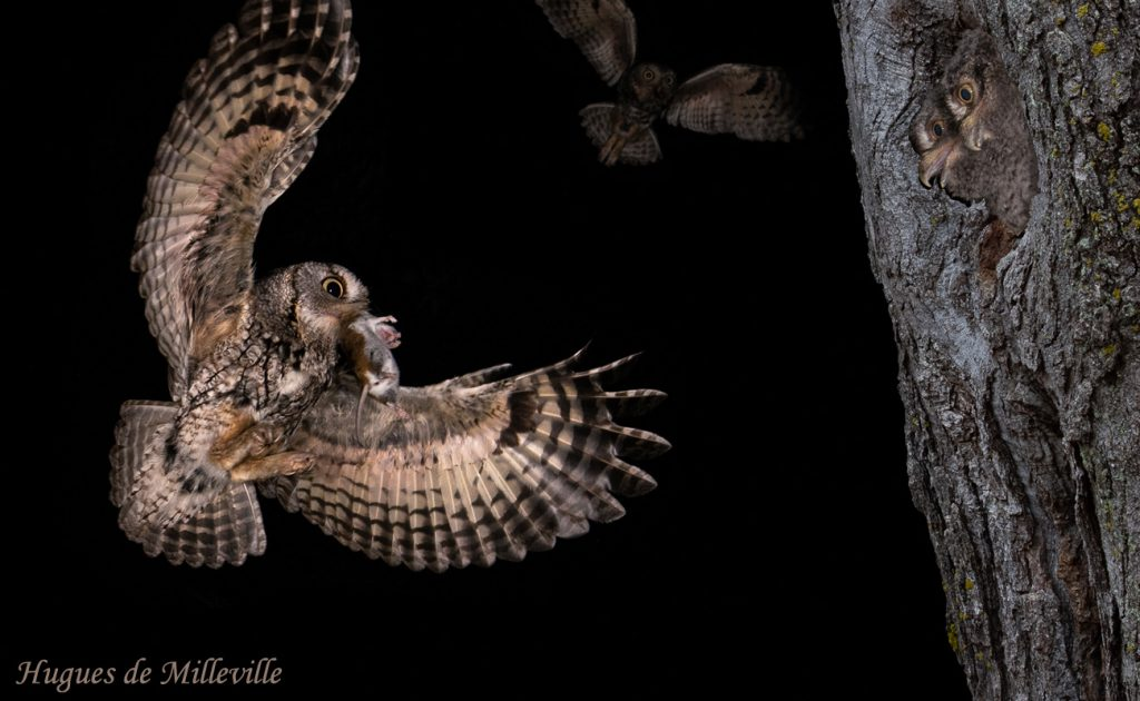 Screech Owl and Young by Hughes de Milleville