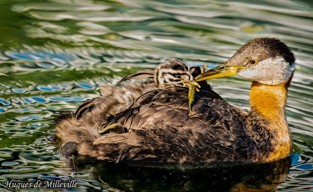 Red-necked Grebe Feeding Chick by Hughes de Milleville