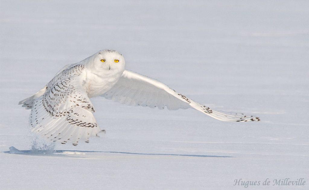 Snowy Owl by Hugues de Milleville