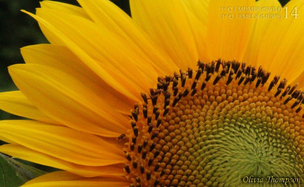 Sunflower Petals by Olivia Thompson