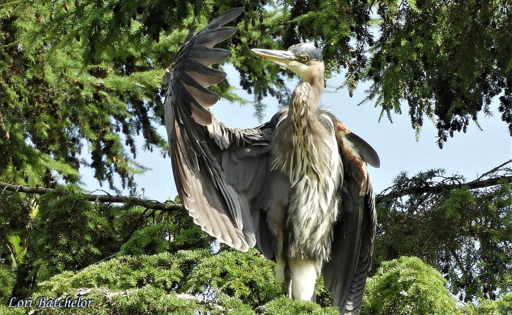 Great Blue Heron Inspecting Feathers by Lori Batchelor
