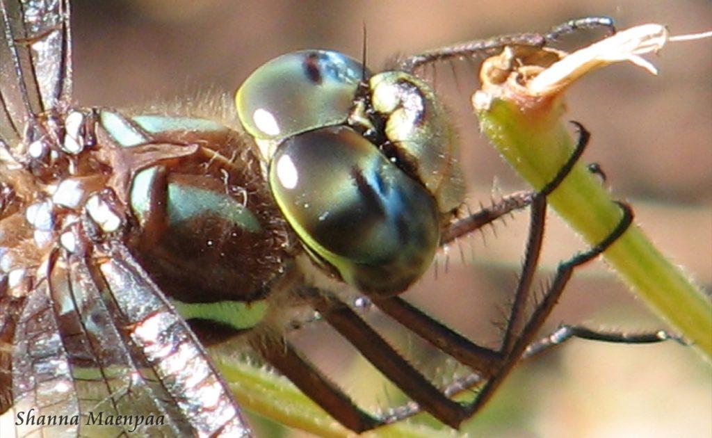 Dragonfly by Shanna Maenpaa