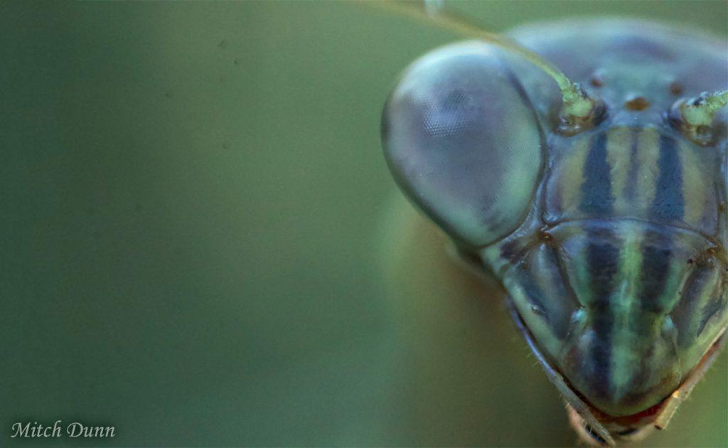 Praying Mantis by Mitch Dunn