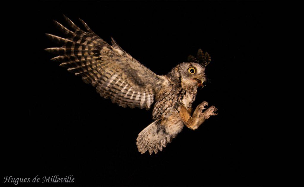 Screech Owl with June Bug by Hugues de Milleville