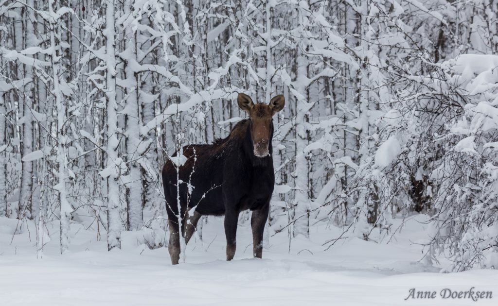 Moose Standing in Winter Snow by Anne Doerksen