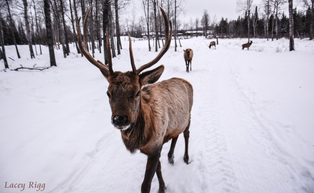 Curious Elk by Lacey Rigg