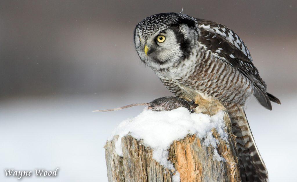 Northern Hawk Owl and Prey by Wayne Wood