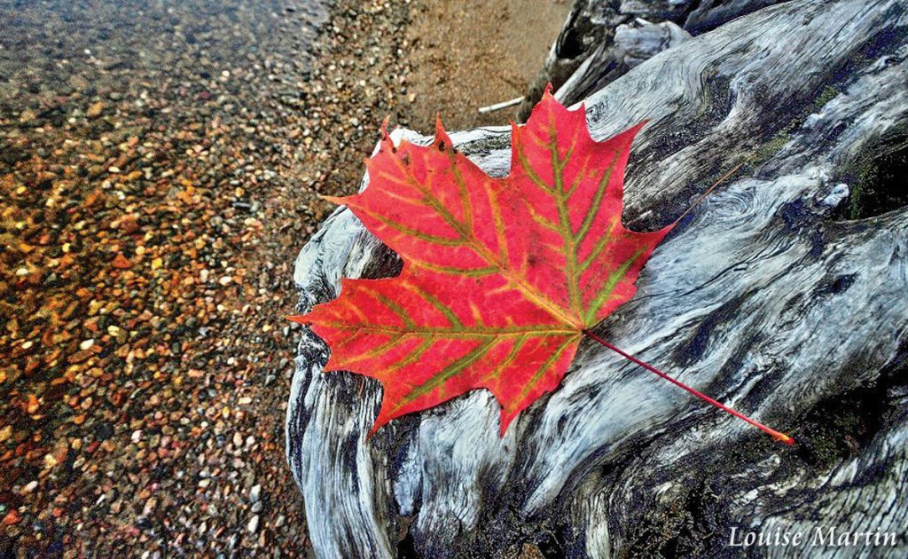 Fall Leaf by Louise Martin