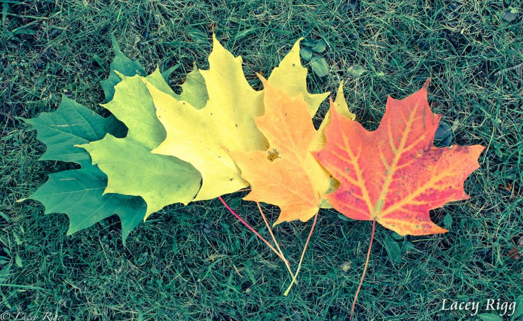 Transition of Maple Leaves by Lacey Rigg